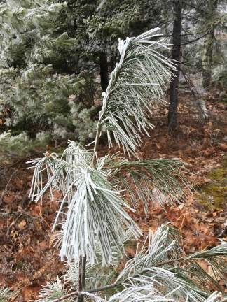 More frosty pine.