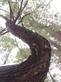 Coming back down the upper loop, I spotted this really cool tree with a curved trunk.