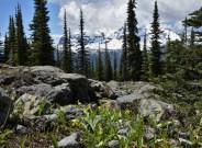 Glacier Lilies on Chalet Loop Trail