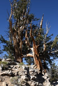 bristlecone-pine-group-4