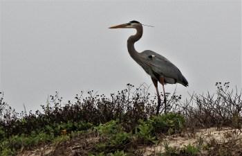heron-on-dune