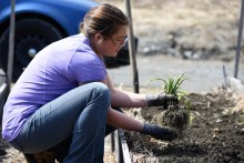Jeannie planting garlic
