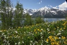 Arrowleaf Balsamroot and Western Amelanchier blooming along Jackson Lake