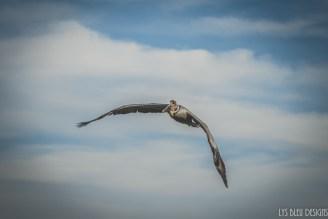 huntington beach pelican ocean california 2