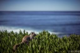 squirrel la jolla ocean