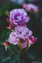 flowers roses purple