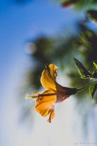 flowers hibiscus