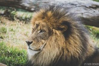 lion san diego zoo safari park