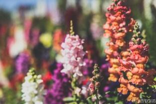 flowers carlsbad flower fields