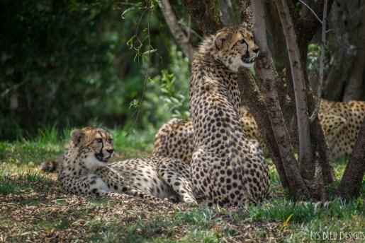 cheetahs san diego zoo safari park