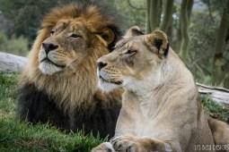 lions san diego zoo safari park lion couple