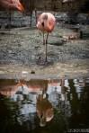 flamingo san diego zoo safari park