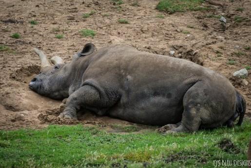 northern white rhino san diego zoo safari park rhinoceros