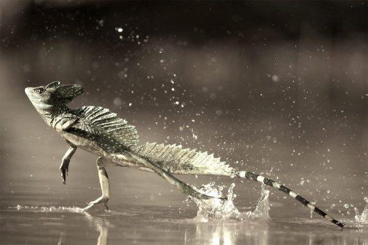 Jesus Green lizard Costa Rica1_zpsggvllkxg