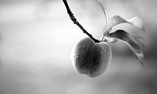 peach_on_a_tree_wallpaper_5