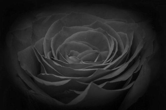 rose-266611_960_720