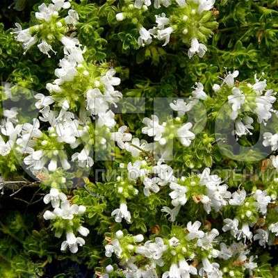 Тимьян ранний Albiflorus - Саженцы многолетних цветов и ...
