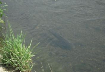 安威川の鯉
