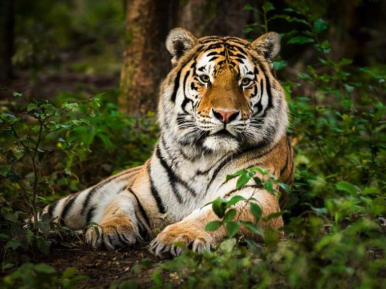 Bronx Zoo Tiger Coronavirus: In a first, Bronx zoo tiger 'Nadia ...