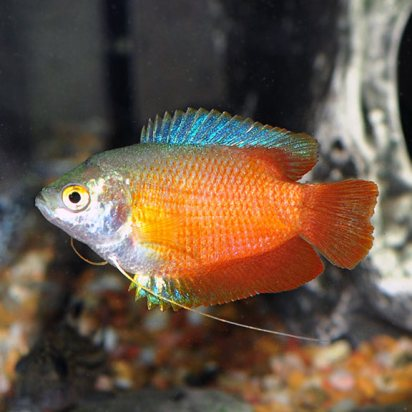 Image result for dwarf gourami