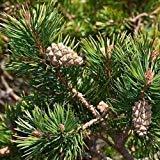 Las semillas del rbol de pino silvestre (Pinus sylvestris) 40 + 160 + (Semillas)