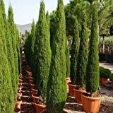 VISA STORE Semillas de semillas Itian (Cupressus sempervirens) 25 + Seeds (50+)