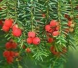 Aamish 15 semillas de rbol de Taxus baccata