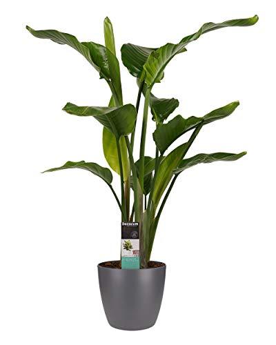 Plante d'intérieur de Botanicly – Oiseau du paradis en pot de fleur anthracite comme un ensemble – Hauteur: 95 cm – Strelitzia Nicolai