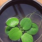 Semillas de plantas acuticas, 100 piezas Hydrophyte Semillas Semillas DIY decorativo Green Garden primer plano acuario de agua de la hierba caseros para la jardinera Ideal regalo al aire libre
