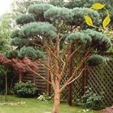 El pino silvestre austraco Pinus sylvestris - 30 + Semillas