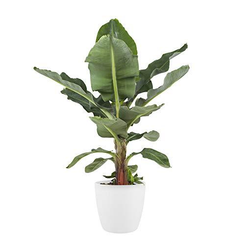 Plante d'intérieur de Botanicly – Bananier en pot de fleur blanc comme un ensemble – Hauteur: 80 cm – Musa