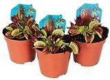 DECOALIVE Trio de Plantas Carnvoras Venus Atrapamoscas Dionaea Muscipula Pack de 3 Unidades