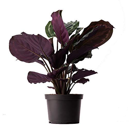 AMERICAN PLANT EXCHANGE Calathea Medallion Peacock Live Plant, 6' Pot, Indoor/Outdoor Air Purifier
