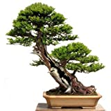 Pinkdose 15 Seeds Taxus Baccata Tree (English Yew Seeds) Bonsai