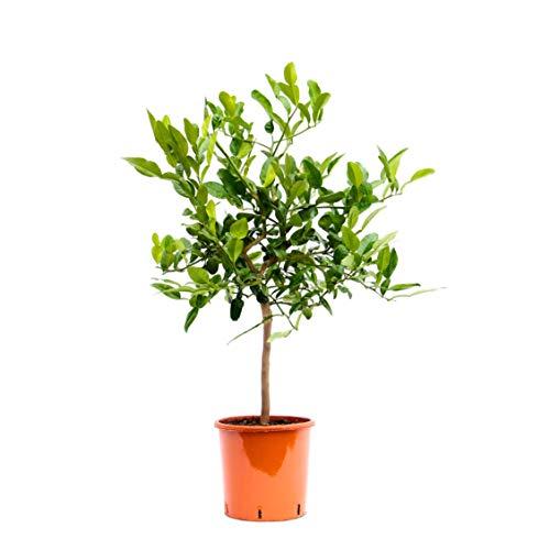 Fruit de Botanicly – Combava – Hauteur: 85 cm – Citrus Hystrix