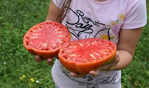 Portal Cool 25 semillas de tomate gigante filete (filete de