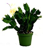 Yellow Christmas Cactus Live Plant Zygocactus 4' Pot Best Gift - USA_Mall