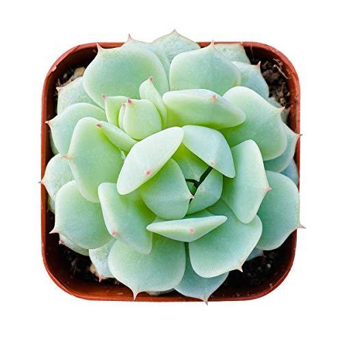 Succulent Echeveria derenbergii, Fully Rooted in 2 inch Pot