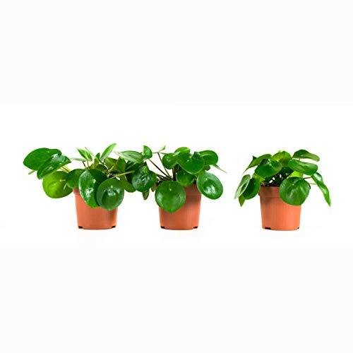 Plantes d'intérieur de Botanicly – 3 × Plante à monnaie chinoise – Hauteur: 22 cm – Pilea peperomioides