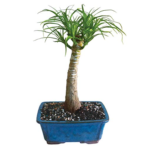 "Brussel's Live Pony Tail Palm Indoor Bonsai Tree - 5 Years Old; 12"" to 20"" Tall with Decorative Container"