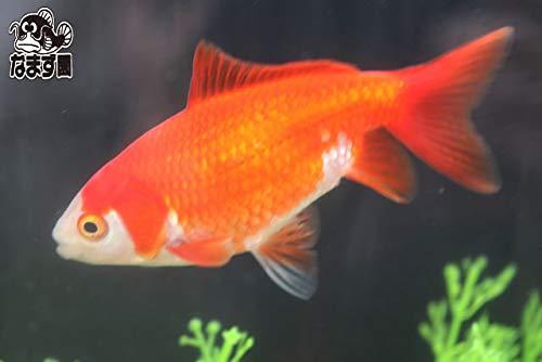 国産金魚 和金三つ尾 2才魚 1匹 全長約8~11cm (生体0107-18)