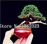 Semillas de 60 piezas Mini E El Juniper Semillas Semillas de arranque -Juniperus procumbens para las semillas del jardn: 2