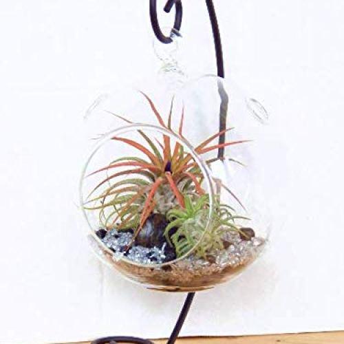 Bliss Gardens Terrarium Kit with 2 Tillandsia Air Plants