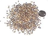 Enano Paquete de semillas del rbol de pino mugo, Pinus mugo Pumilio Semillas ideal para rboles Bonsai 10