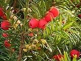 Genipap 30 semillas de rbol Taxus Baccata