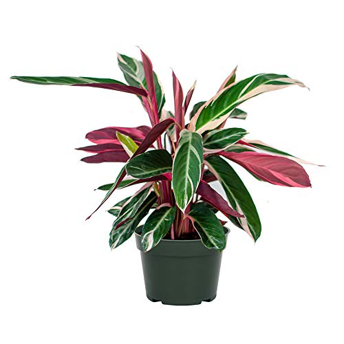 AMERICAN PLANT EXCHANGE Tricolor Stromanthe Easy-to-Grow Live Prayer Plant, 6' Pot, Indoor/Outdoor Air Purifier