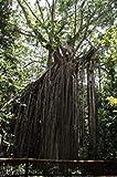 VISA STORE Ficus virens Hardy Banyan nica semilla Semillas exticos!