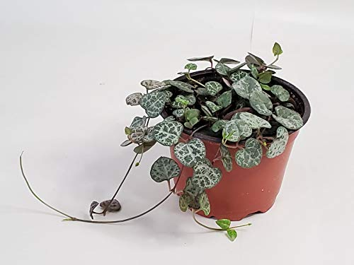 String of Hearts Plant (Non-Variegated) - 4'' from California...