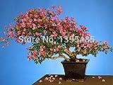 Vista Swallow Palm Seed100% Vritable Frais Rare Jade plante Graines bonsa Succulent Graines De Fleurs 100 PCS
