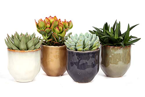 Cactus et plantes grasses de Botanicly – 4 × Succulents – Hauteur: 18 cm – Succulentus Mini